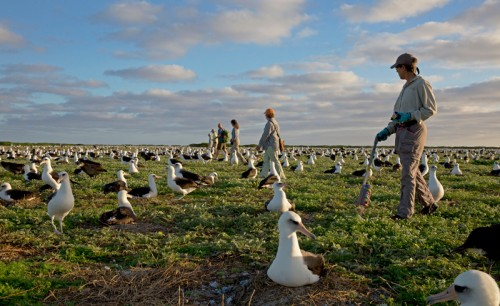 Midway-Atoll-National-Wildlife-Refuge-(Hawaii)-volunteers-Photo-Dan-Clark-(USFWS),-flickr.