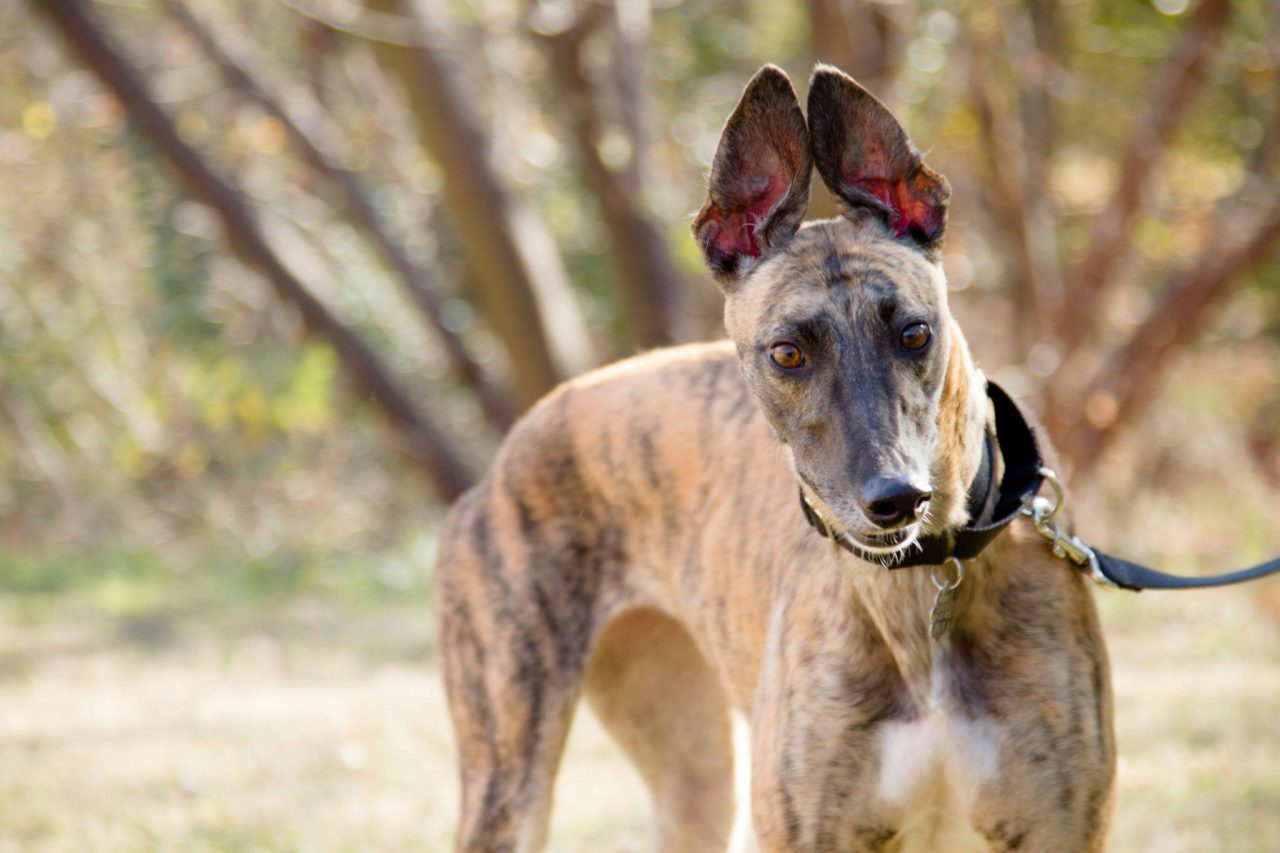 GreyHound Adoption League of Texas - Cute Animal Valentine