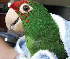 parrot wrapped in blanket