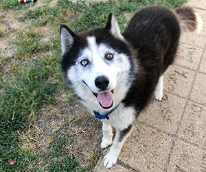 Rescued Siberian Husky Animal Welfare League of Alexandria Virginia Incorporated