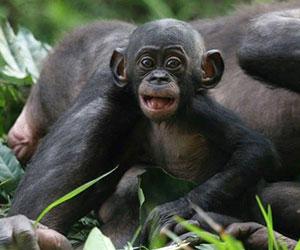 playful baby ape Friends of Bonobos.Lola ya Bonobo